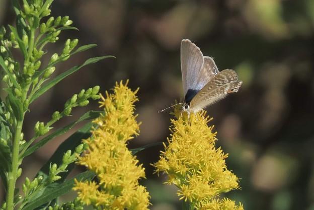 アワダチソウに寄る蝶