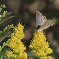 Photos: アワダチソウに寄る蝶