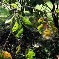 Photos: 柿の葉赤く