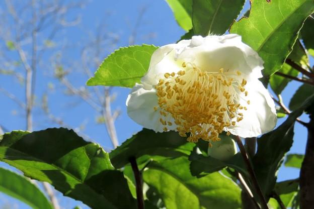 Photos: 茶の花