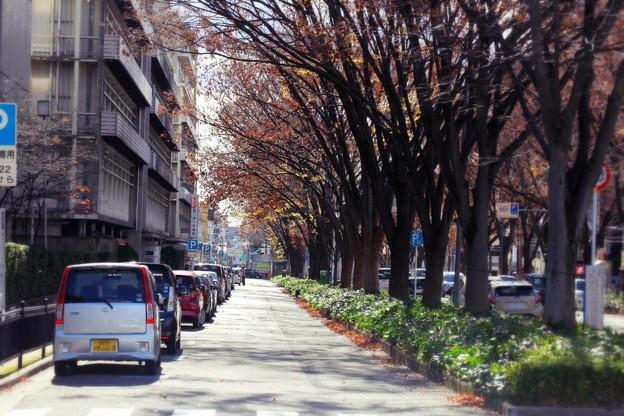 Photos: 欅並木