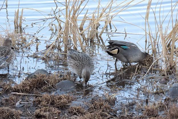 Photos: コガモの採餌
