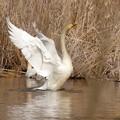 Photos: 白鳥がいた!