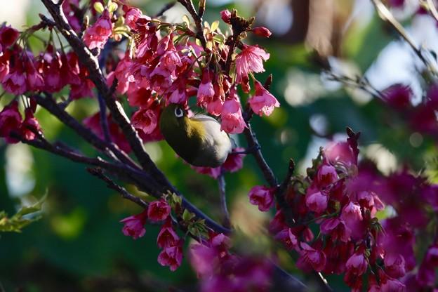 桜咲く沖縄