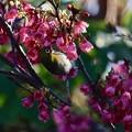 写真: 桜咲く沖縄