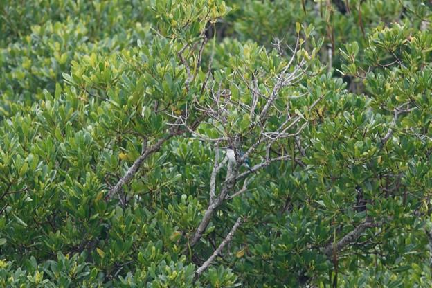 雨のマングローブ林