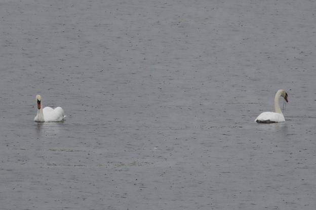 雨のウトナイ湖