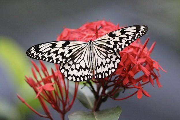 沖縄県県蝶