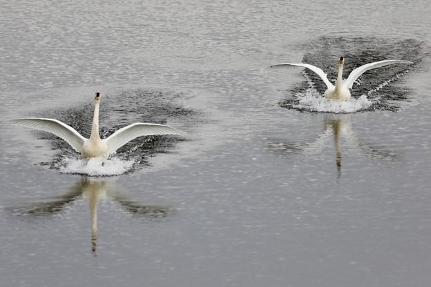 白鳥の湖♪