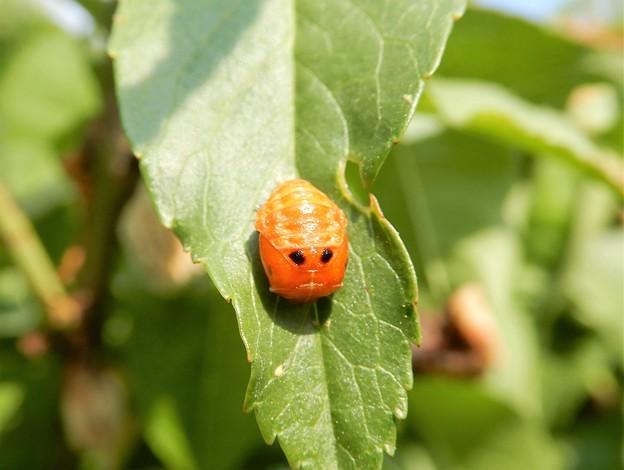 ナミテントウの蛹 (1)
