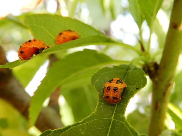 ナミテントウの蛹 (2)