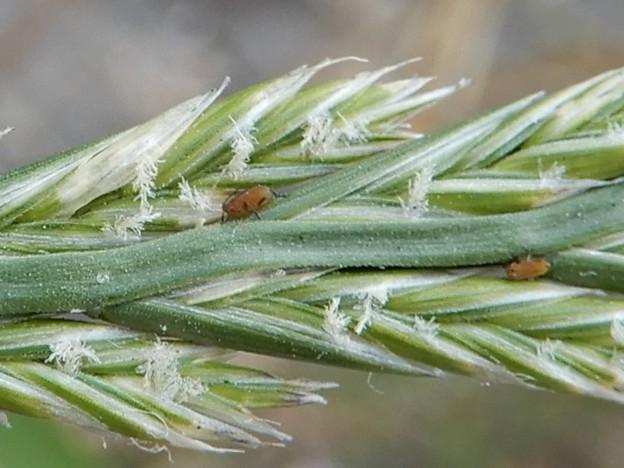 ホソムギの穂にいたダニのような虫