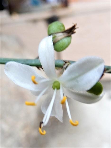 オリヅルランの花 (2)