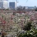 写真: 大阪城梅林 (2)