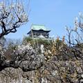 写真: 大阪城梅林と天守閣