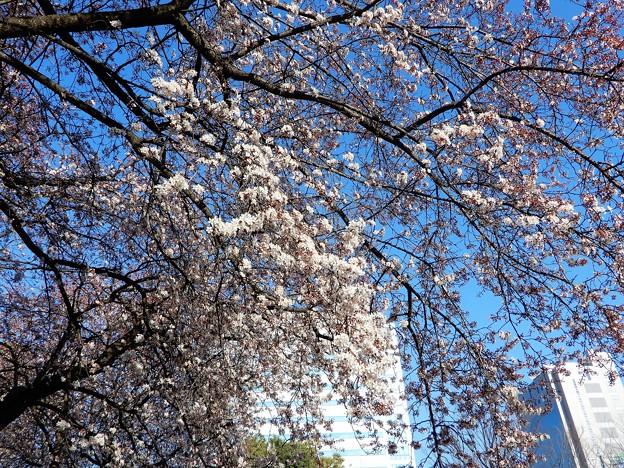 大阪城公園入口の桜 (1)