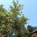 鹽竈神社の多羅葉 (5)