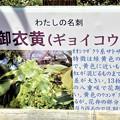 鹽竈神社境内・御衣黄(ギョイコウ) (2)