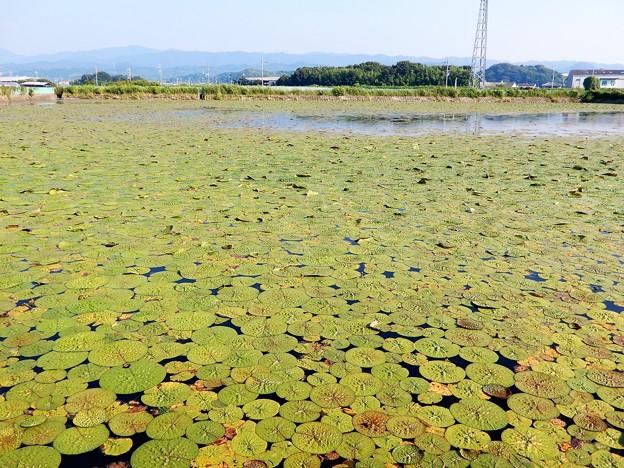 21オニバスの池