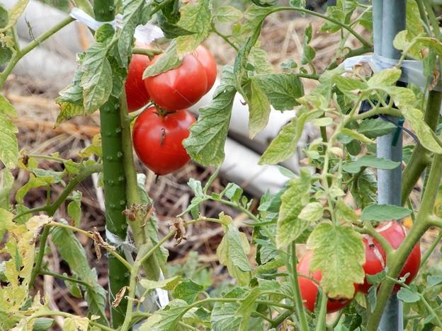トマトが熟れて