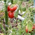 写真: トマトが熟れて