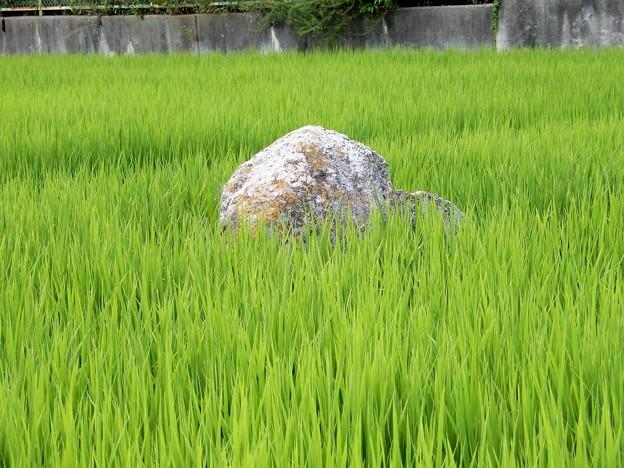 10阿弥陀浄土院庭園の景石? (2)