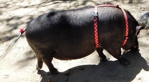 06本薬師寺跡で見た黒豚 (2)
