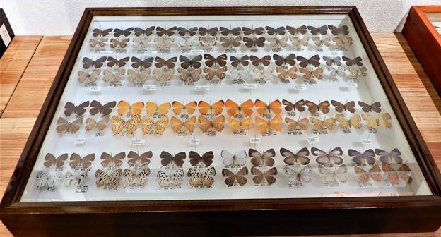 蝶の標本 (5)