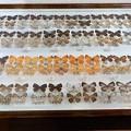写真: 蝶の標本 (5)