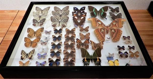 蝶の標本 (7)