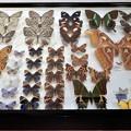 写真: 蝶の標本 (7)