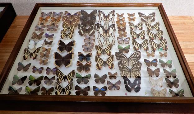 蝶の標本 (8)