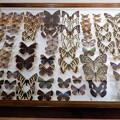 Photos: 蝶の標本 (8)