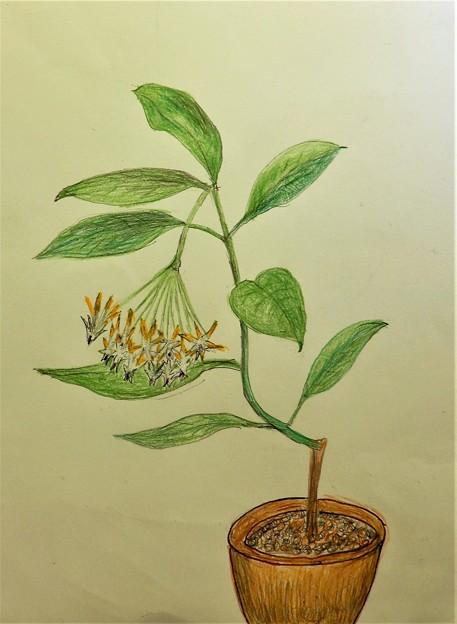 ホヤ・ムルティフロラ(Hoya multiflora)