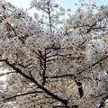 満開の花 (1)