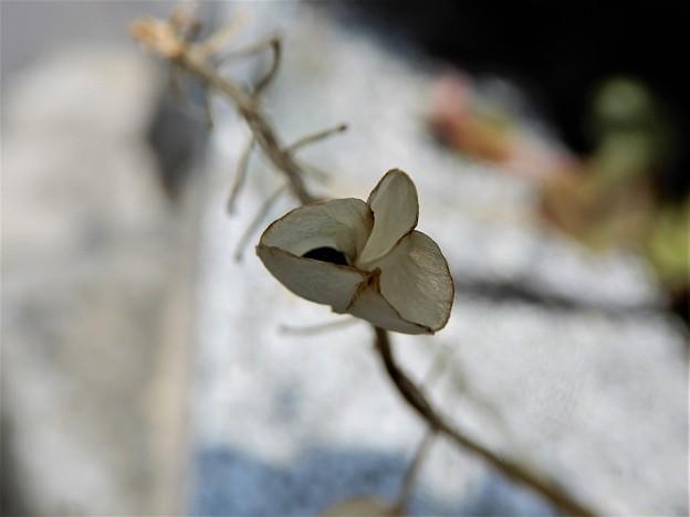 ムスカリの種苞 (2)