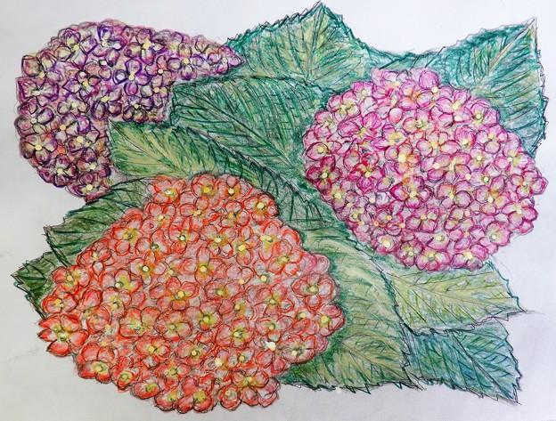 紫陽花 from 友〇さん