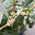 Photos: オリーブの花 (2)