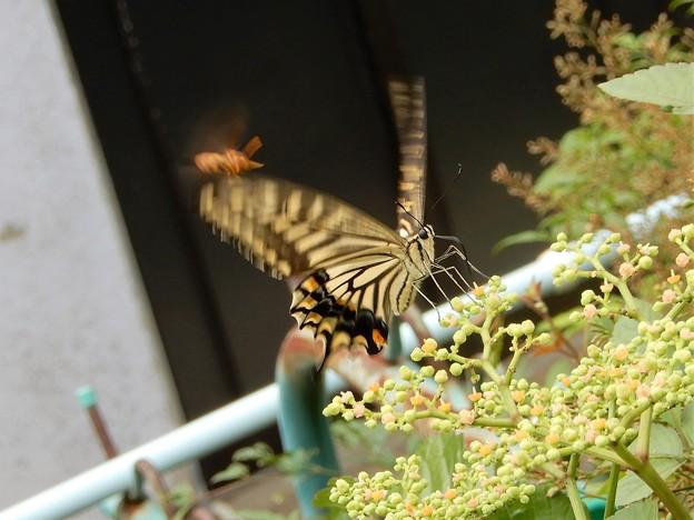 キアゲハとアシナガバチとヤブガラシ (2)
