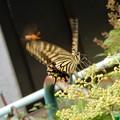 Photos: キアゲハとアシナガバチとヤブガラシ (2)