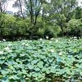 Photos: 大川べりの蓮池 (1)