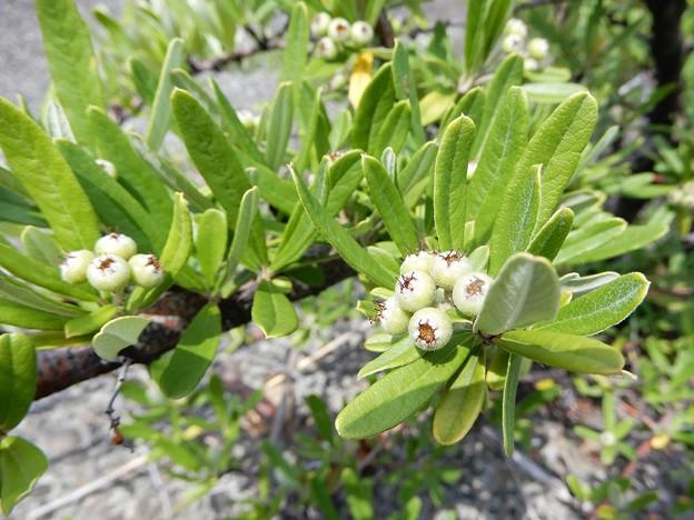 不明・シャリンバイに似ているが、葉が異なる、棘もある。 (2)