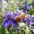 Photos: 蜂 (2)