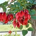 Photos: アメリカデイゴの花