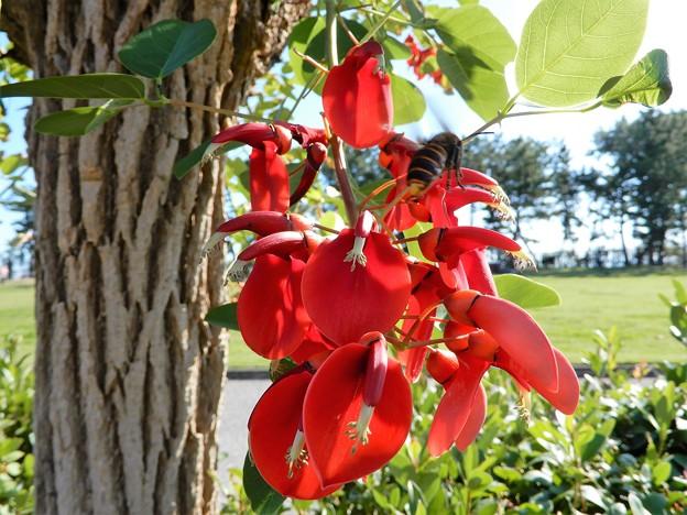 アメリカデイゴの花とオオスズメバチ