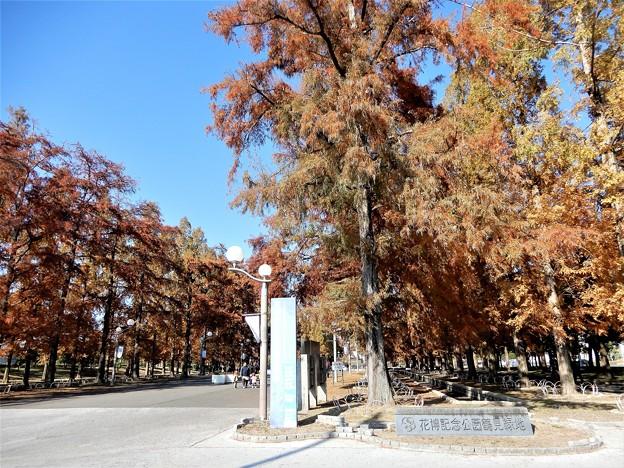 鶴見緑地入口のメタセコイア (1)