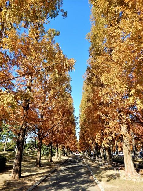 鶴見緑地入口のメタセコイア (2)