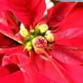 ポインセチアの花 (2)