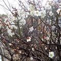 梅の花2020 (1)
