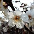 梅の花2020 (2)